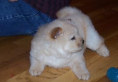 Gorgeous Chow Chow puppy